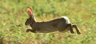 El conejo francés